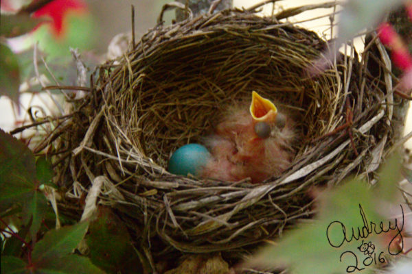 hatching robins