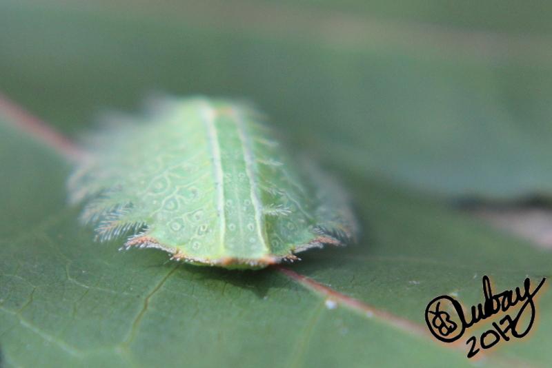 Slug caterpillarmoth